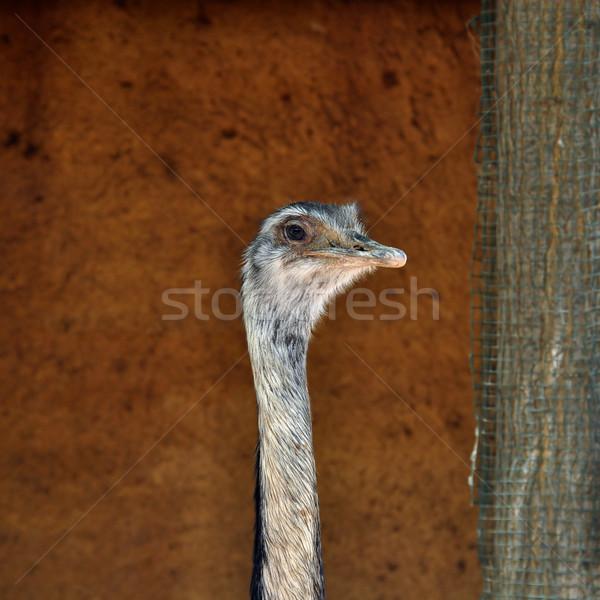 greater rhea flightless bird Stock photo © sirylok