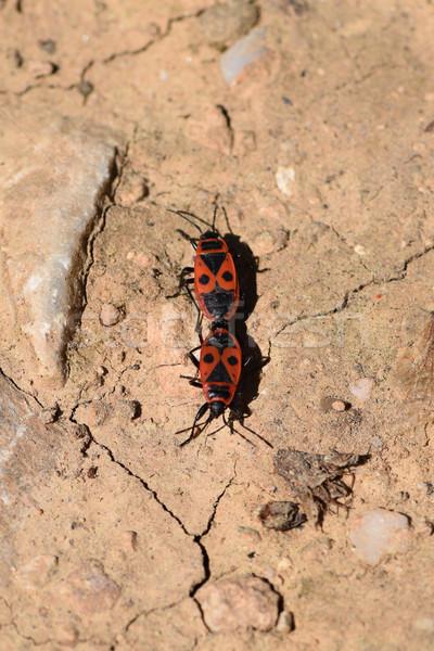 Dois insetos caminhada para trás primavera natureza Foto stock © sirylok