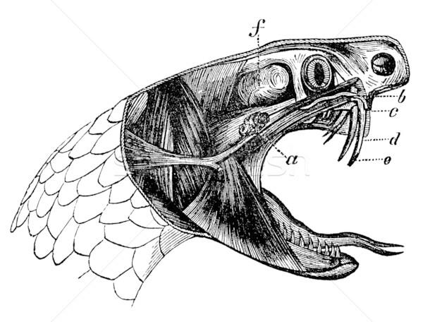 Węża vintage ilustracja sekcja głowie Zdjęcia stock © sirylok