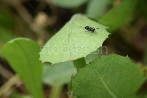 ストックフォト: アリ · 緑色の葉 · 昆虫 · マクロ · 抽象的な · 自然