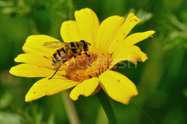 Háziméh sárga virág pici piros bogarak tavasz Stock fotó © sirylok