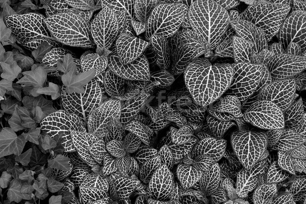 nerve plant leaf background Stock photo © sirylok