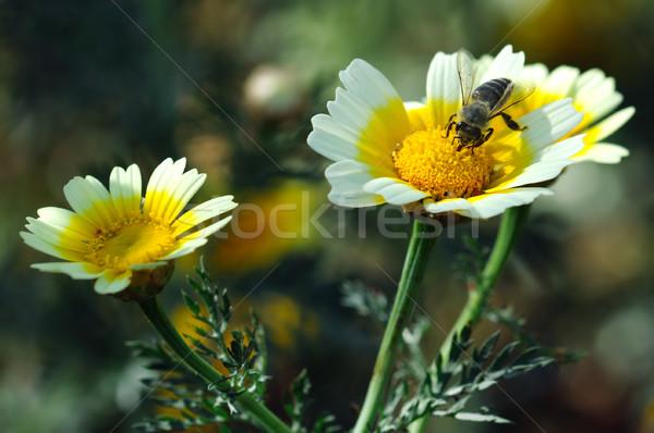 Háziméh nektár virágzó százszorszép virág tavasz Stock fotó © sirylok