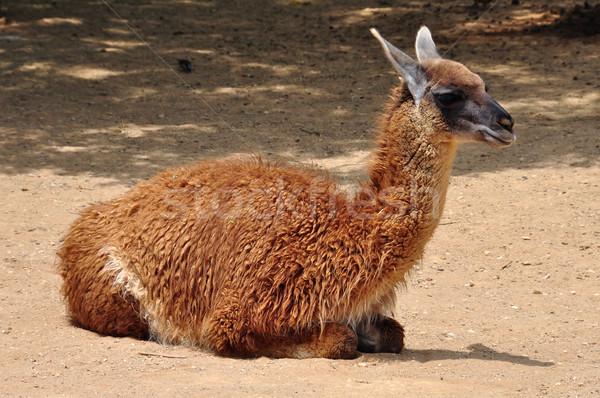 Stock photo: guanaco camelid animal
