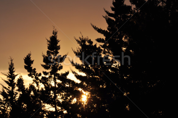 setting sun through braches Stock photo © sirylok
