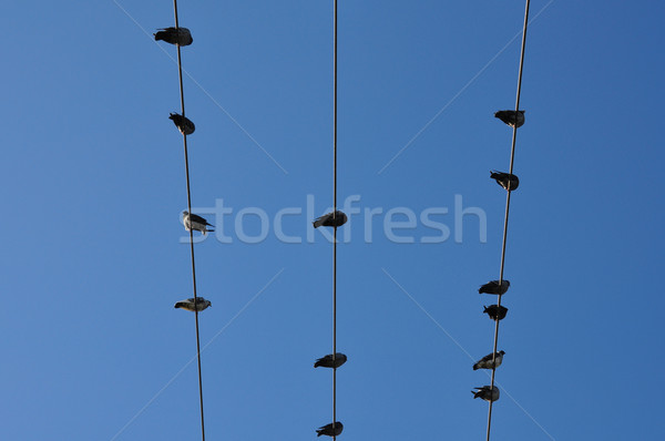 Błękitne niebo gołębi ptaków posiedzenia drutu streszczenie Zdjęcia stock © sirylok