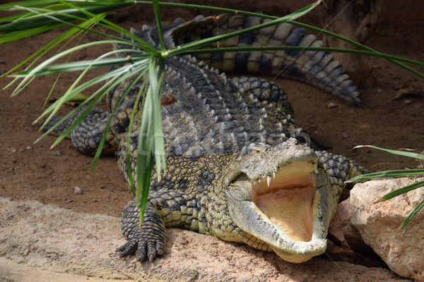 nile crocodile with open jaws Stock photo © sirylok