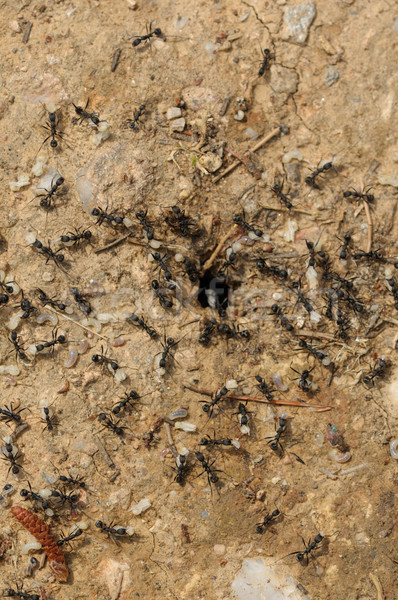 ant workers carry larva out of the nest Stock photo © sirylok