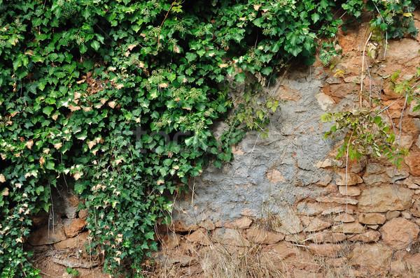 Sarmaşık bitki taş duvar yeşil büyüyen Stok fotoğraf © sirylok