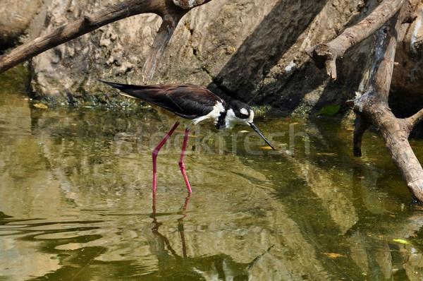 Pequeno invertebrados raso água pássaro Foto stock © sirylok