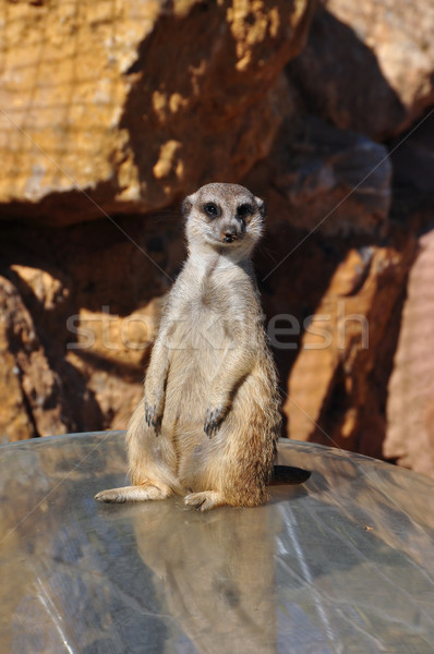 funny meerkat animal Stock photo © sirylok