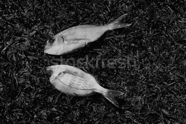 bream fish Stock photo © sirylok