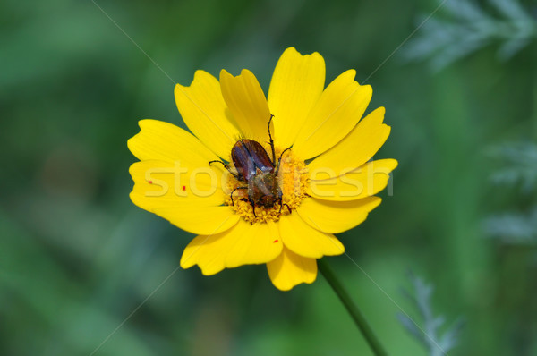 beetle on yellow flower Stock photo © sirylok