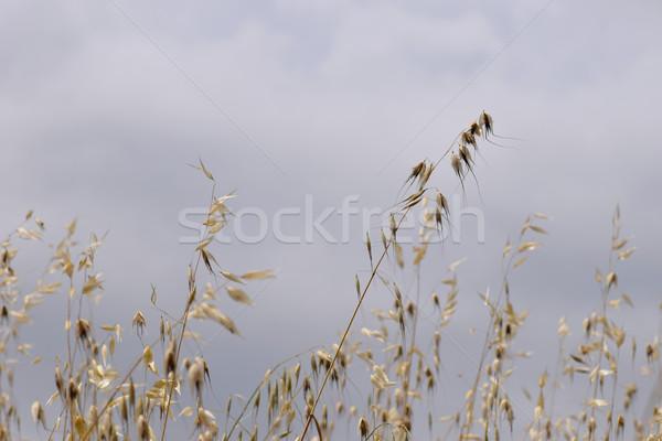 Stock fotó: Zab · szalmaszál · növények · szeles · nap · nyár