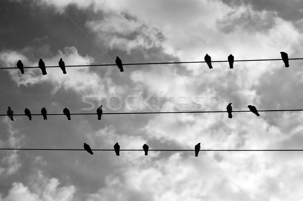 Stock fotó: Madarak · drót · pihen · feketefehér · égbolt · természet