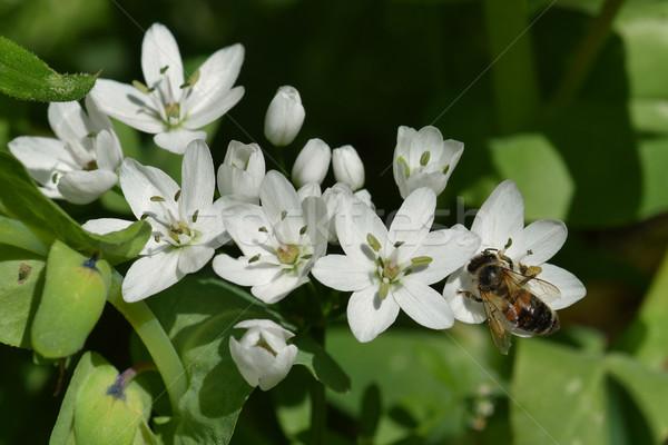 bee on white flower Stock photo © sirylok