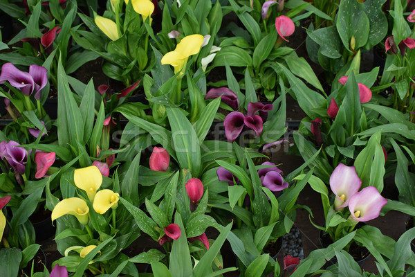 zantedeschia calla lily flowers Stock photo © sirylok