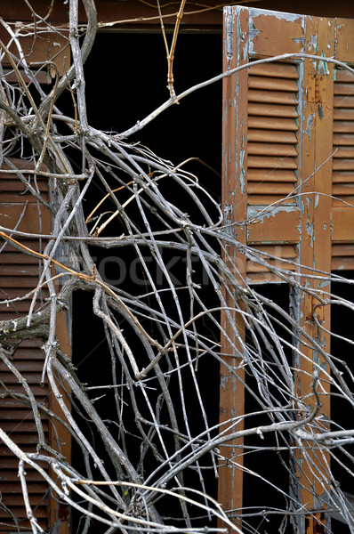 tangled branches and broken window shutter Stock photo © sirylok