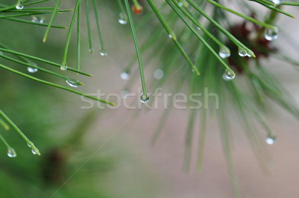 Sosna igły streszczenie charakter wody Zdjęcia stock © sirylok