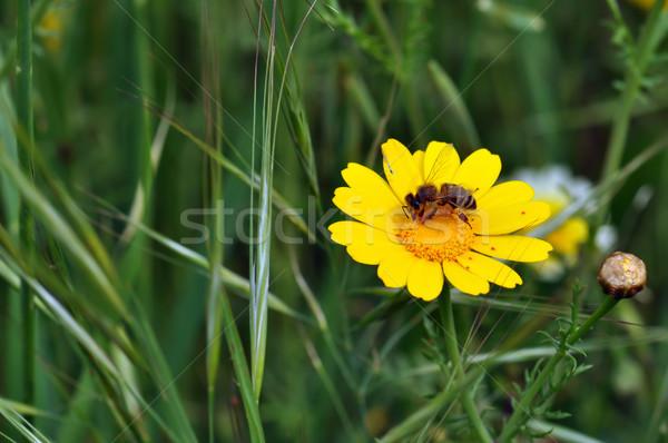 Méh piros vadvirág pici citromsárga tavasz Stock fotó © sirylok