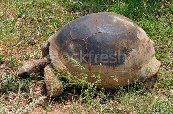 aldabra giant tortoise feeding on grass Stock photo © sirylok