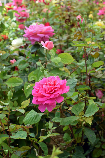 pink roses flowers Stock photo © sirylok