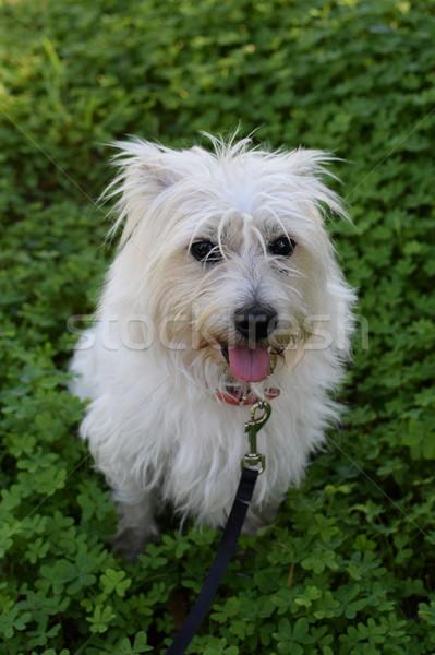 небольшой белый собака области клевера терьер Сток-фото © sirylok