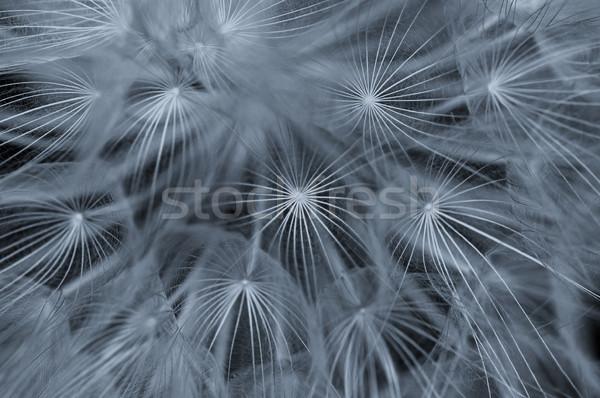 Pitypang absztrakció növény makró absztrakt szelektív fókusz Stock fotó © sirylok