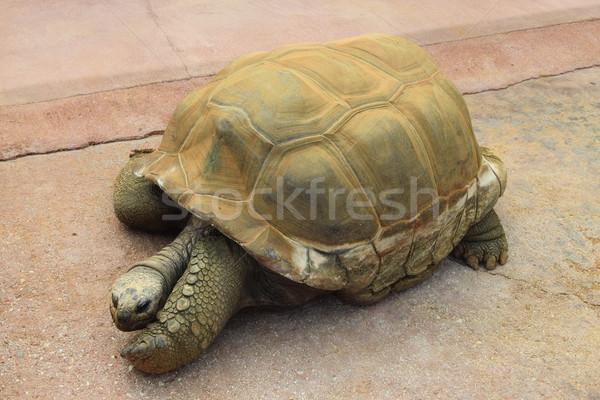 Gigante tartaruga rettile animale polveroso shell Foto d'archivio © sirylok