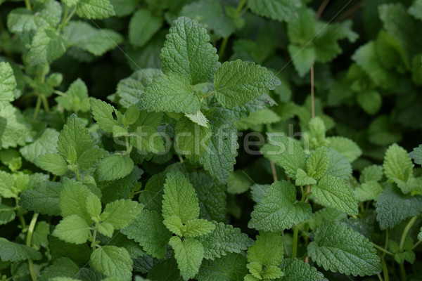 melissa officinalis plant leaves Stock photo © sirylok