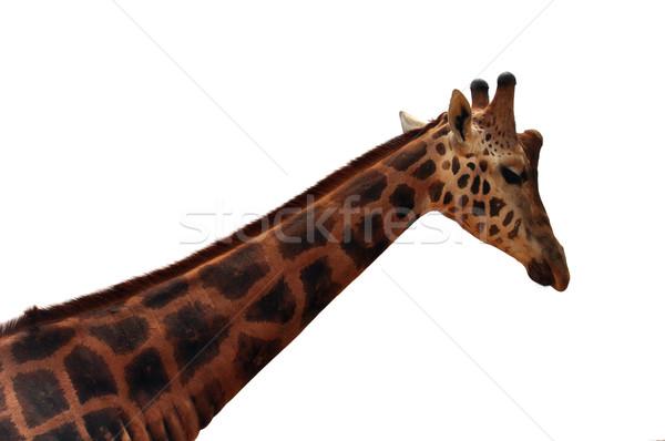 Zsiráf fehér fej nyak részlet veszélyeztetett Stock fotó © sirylok