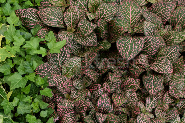 fittonia nerve plant leaves Stock photo © sirylok