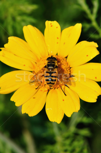 Abeille ailes pollen nectar Photo stock © sirylok