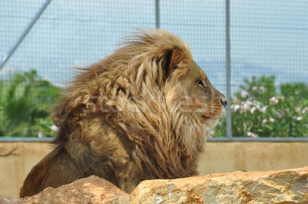Foto stock: Sudoeste · africano · leão · adulto · masculino · cativeiro