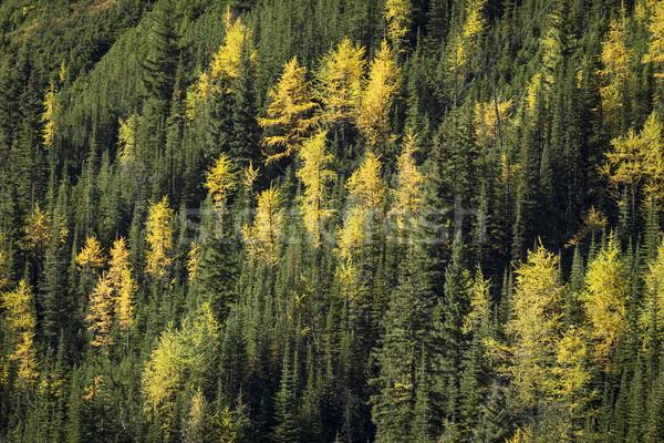 秋 高山 木 黄色 森林 葉 ストックフォト © skylight