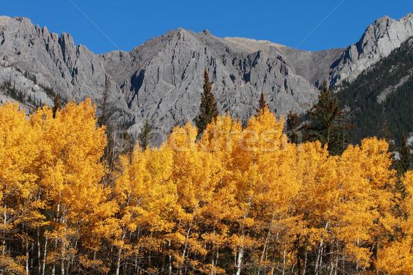 Jesienią topola drzew góry lasu Zdjęcia stock © skylight