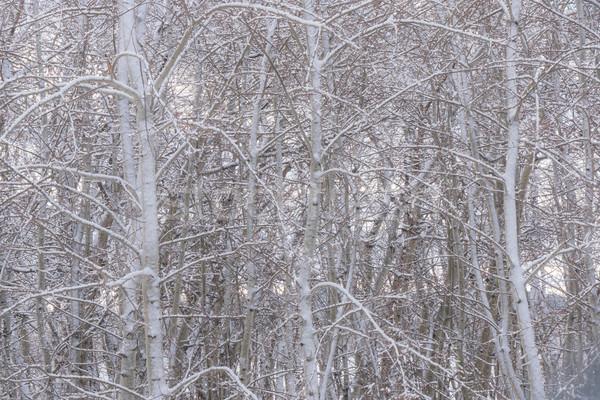 Kış ağaç kar kapalı ağaçlar Stok fotoğraf © skylight