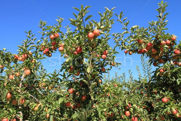 яблоневый сад фрукты зрелый яблоко фермы Сток-фото © skylight