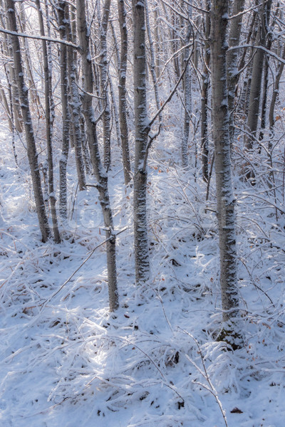 Fresh snow in aspen tree grove 2 Stock photo © skylight