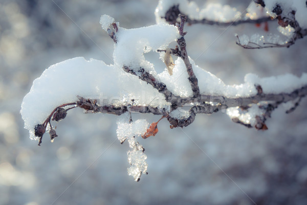 Close up of snow covered branch Stock photo © skylight
