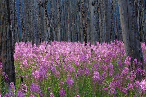 Fireweed wildflowers in a burnt forest Stock photo © skylight