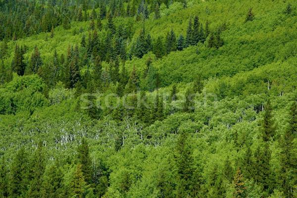 весны лес зеленый весна лист деревья Сток-фото © skylight