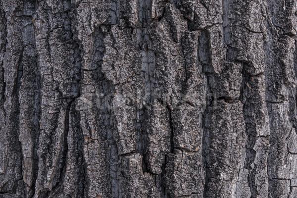 тополь дерево Кора тесные выстрел грубо Сток-фото © skylight