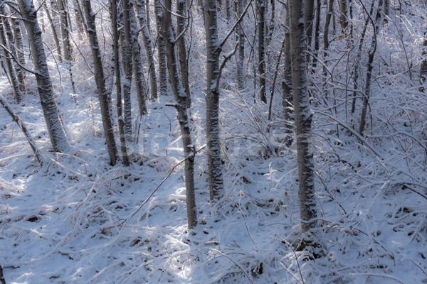 свежие снега дерево покрытый деревья Сток-фото © skylight