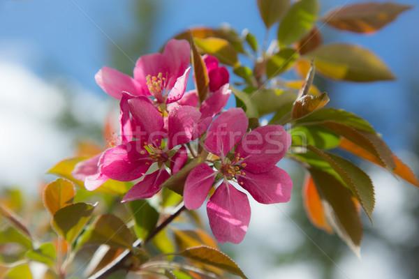 春 リンゴ 新鮮な リンゴの木 フルーツ ストックフォト © skylight
