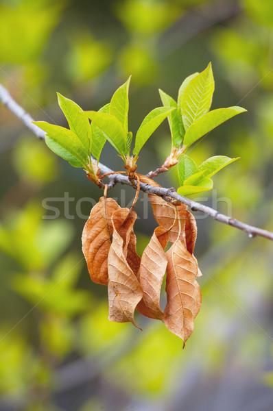 новых листьев весна весны старые лист Сток-фото © skylight