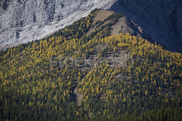 Automne alpine arbres jaune pays Photo stock © skylight