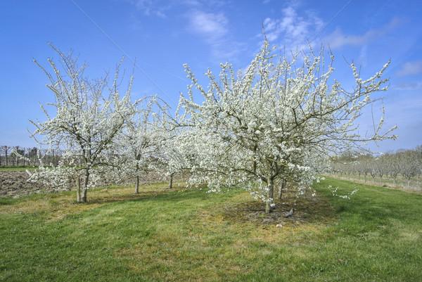 Szilva fák virág gyümölcsös fehér fű Stock fotó © smartin69