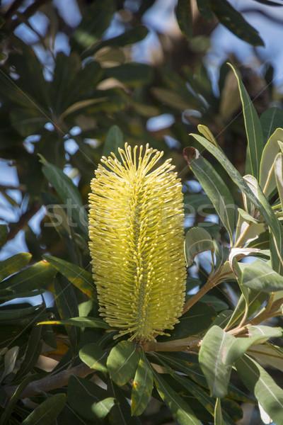 Sarı çiçek yeşillik yeni güney galler Avustralya ağaç Stok fotoğraf © smartin69