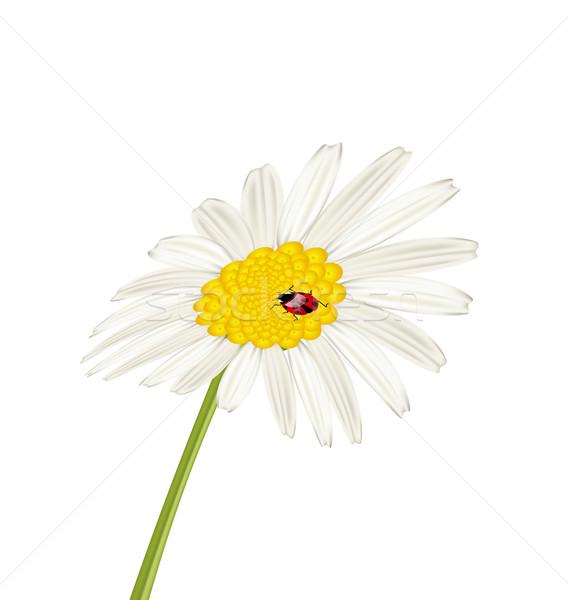 Closeup camomile flower with ladybug isolated on white backgroun Stock photo © smeagorl
